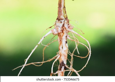 Rhizobia bacteria symbion in root pea and form nodule, they fixed nitrogen in air to the root pea.