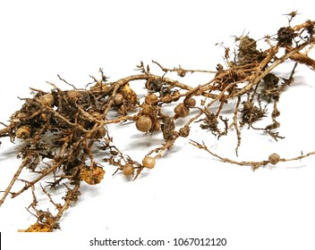Rhizobia established inside the root nodules of a Angsana tree. They are bacteria that need a plant host to express gene for nitrogen fixation.