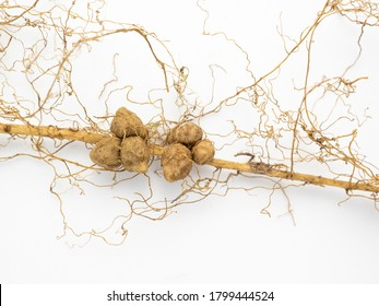 A rhizobium fungus that coexists with the roots of beans.