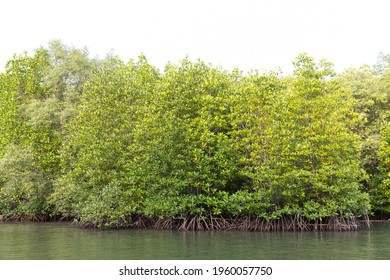 Rhizophora apiculata blume forest in mangrove area, special tree with prop or buttress root and also for aerating