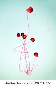 Rhizopus (sporangia) under the microscope