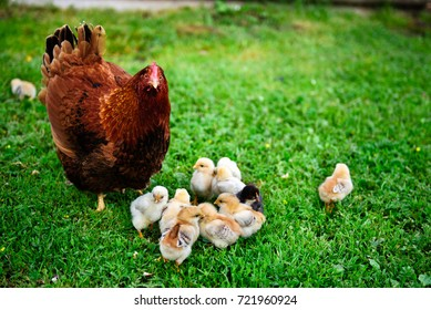 A Rhode Island Red chicken near baby chicks on the grass