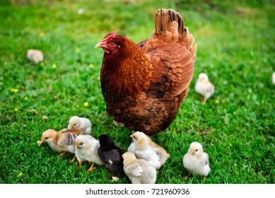 A Rhode Island Red chicken surrounded by baby chicks on the grass