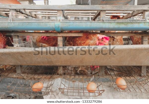 Rhode Island Red Hens Egg Chicken Stock Photo Edit Now