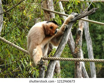 Rhodes, Moselle/France - 01/12/2018 : Beige gibbon monkey hanging in the branches at the animal park of Sainte Croix in Moselle.