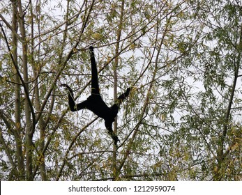 Rhodes, Moselle/France - 01/12/2018 : Black Gibbon monkey hanging in the branches at the animal park of Sainte Croix in Moselle.