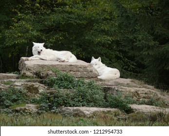Rhodes, Moselle/France - 01/12/2018 : Two Arctic white wolves lying on rocks at the animal park of Sainte Croix in Moselle.