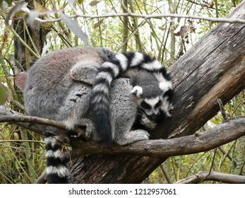 Rhodes, Moselle/France - 01/12/2018 : Two entangled catta lemurs at the animal park of Sainte Croix in Moselle.