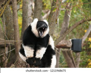 Rhodes, Moselle/France - 10/11/2018 : Black and white lemur vari shout in the animal park of Sainte Croix in Moselle.
