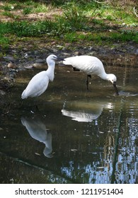Rhodes, Moselle/France - 10/11/2018 : CLittle egret and white spoonbill in the animal park of Sainte Croix in Moselle.