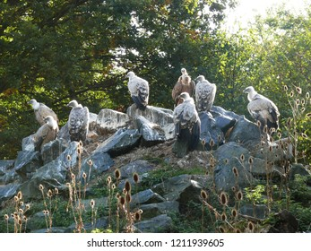 Rhodes, Moselle/France - 10/11/2018 : Griffon vultures at the animal park of Sainte Croix in Moselle.