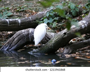 Rhodes, Moselle/France - 10/11/2018 : Heron keeps white beef in the animal park of Sainte Croix in Moselle.