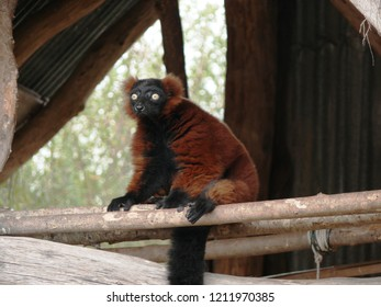 Rhodes, Moselle/France - 10/11/2018 : lemur maki red variety in the animal park of Sainte Croix in Moselle.