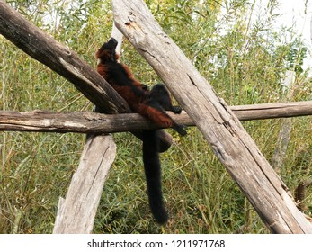 Rhodes, Moselle/France - 10/11/2018 : lemur maki red variety lying on a branch in the animal park of Sainte Croix in Moselle.