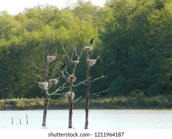 Rhodes, Moselle/France - 10/11/2018 : Nests of Great Cormorants on the water in the animal park of Sainte Croix in Moselle.