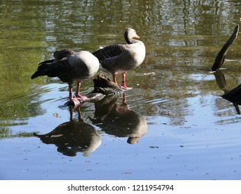 Rhodes, Moselle/France - 10/11/2018 : Two gray goose on a mirror of water in the animal park of Sainte Croix in Moselle.