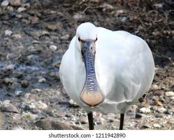 Rhodes, Moselle/France - 10/11/2018 : White spoonbill bird in the animal park of Sainte Croix in Moselle.