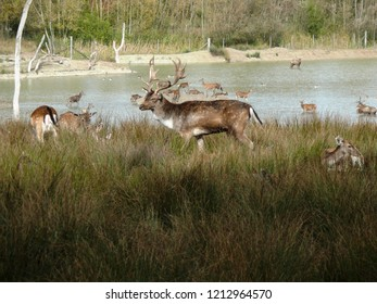 Rhodes, Moselle/France - 10/12/2018 : Fallow deer at the animal park of Sainte Croix in Moselle.
