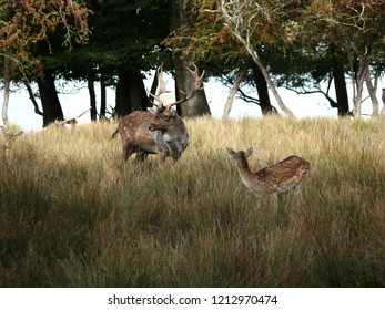 Rhodes, Moselle/France - 10/12/2018 : Fallow deer and his fawn in the tall grass at the animal park of Sainte Croix in Moselle.