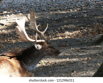 Rhodes, Moselle/France - 10/12/2018 : Portrait of the antlers of a deer in autumn at the animal park of Sainte Croix in Moselle.