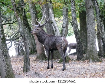 Rhodes, Moselle/France - 10/12/2018 : Portrait of a deer in autumn during the slaughter at the animal park of Sainte Croix in Moselle.