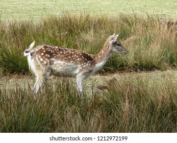 Rhodes, Moselle/France - 10/12/2018 : Young fawn in the tall grass at the animal park of Sainte Croix in Moselle.