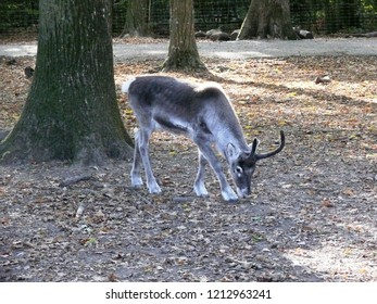 Rhodes, Moselle/France - 10/12/2018 : Young reindeer from Lapland at the animal park of Sainte Croix in Moselle.