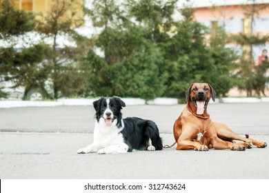 Rhodesian Ridgeback and border collie in the street