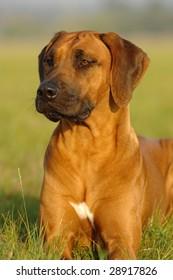 Rhodesian ridgeback dog