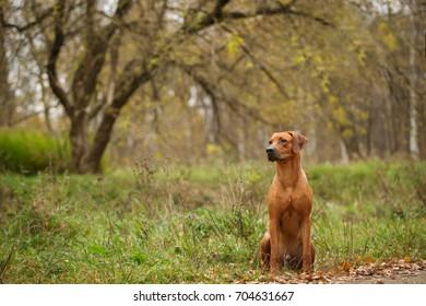 Rhodesian Ridgeback dog beautifil sitting outdoor in autumn