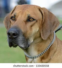 Rhodesian Ridgeback Dog Head