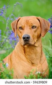 Rhodesian Ridgeback Dog in the meadow