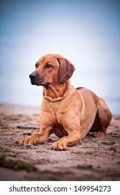 Rhodesian Ridgeback dog on the beach in the water
