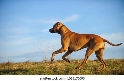 Rhodesian Ridgeback dog outdoor portrait running in field with blue sky