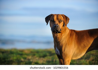 Rhodesian Ridgeback dog outdoor portrait in pretty field