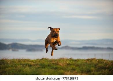 Rhodesian Ridgeback dog outdoor portrait