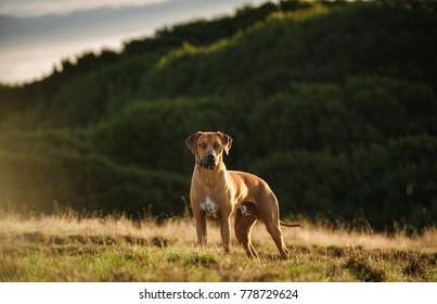 Rhodesian Ridgeback dog outdoor portrait standing in field