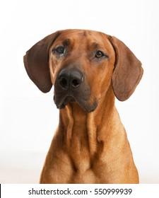 Rhodesian Ridgeback Dog portrait, headshot isolated on white background. Look forward