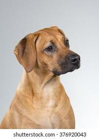 Rhodesian Ridgeback dog portrait. Image taken in a studio.