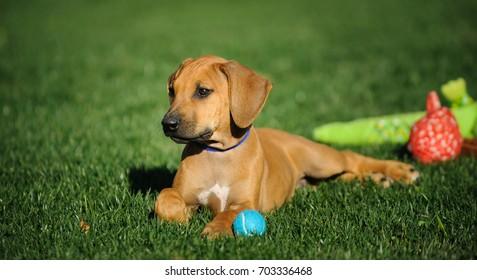 Rhodesian Ridgeback dog puppy lying in grass with toys