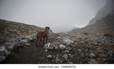 A Rhodesian Ridgeback dog stands on a rocky mountain path and looks down the path which disappears in the fog