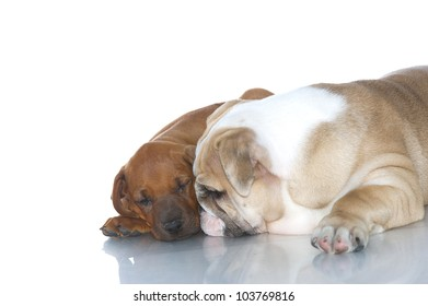 Rhodesian ridgeback and english bulldog puppies friends isolated