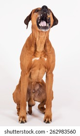 Rhodesian Ridgeback hound dog isolated on white background. The beautiful male is sitting and catching a flying treat.