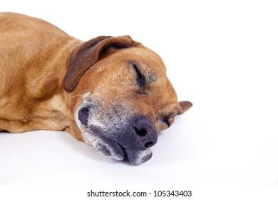 Rhodesian ridgeback male dog 10 years lying and sleeping, Closeup