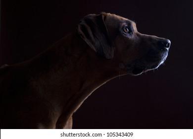 Rhodesian ridgeback male dog 10 years headshot, Closeup, Lowkey