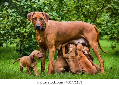Rhodesian Ridgeback nursing her puppies in the garden