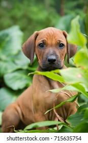 Rhodesian ridgeback portrait. Puppy in the grass.