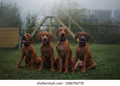 Rhodesian ridgeback puppies posing for a walk