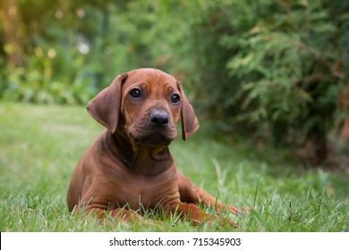 Rhodesian ridgeback puppy in the green.