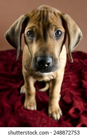 Rhodesian Ridgeback puppy looking into the camera with wrinkles on the forehead